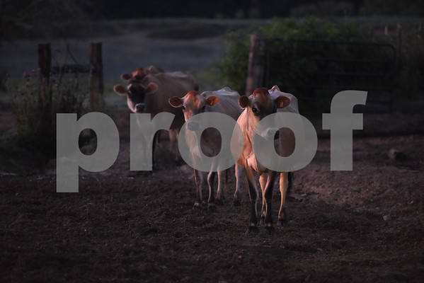 Cows are pictured in the early morning at Jersey Girls Milk Company in Winnsboro Tuesday June 7, 2016.  (Sarah A. Miller/Tyler Morning Telegraph)