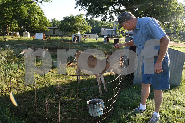 Co-owner Toey Courtney pets a Jersey calf in its pen at Jersey Girls Milk Company in Winnsboro Tuesday June 7, 2016. Jersey Girls Milk Company sells raw milk, raw cheese and yogurt at their farm, 5326 E Fm 852 in Winnsboro.   (Sarah A. Miller/Tyler Morning Telegraph)