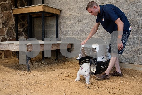 Jaymis Werner, park director, brings Luna, seven-week-old white African lion cub, in a carrier to a public enclosure as she makes her public debut on Wednesday July 11, 2018 at Tiger Creek Animal Sanctuary in Tyler. Luna will go on display twice a day at 10 a.m. and 1 p.m. Tiger Creek is open seven days a week from 10 a.m. to 4 p.m. at 17552 Farm-to-Market 14 in Tyler.  (Sarah A. Miller/Tyler Morning Telegraph)