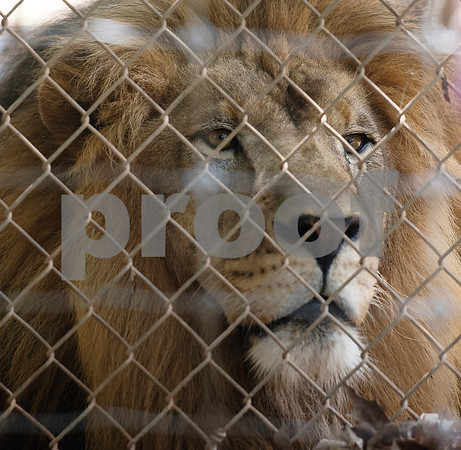 A lion named Max is pictured on Wednesday July 11, 2018 at Tiger Creek Animal Sanctuary in Tyler.   (Sarah A. Miller/Tyler Morning Telegraph)