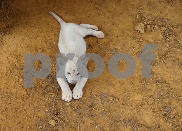 Luna, a seven-week-old white African lion cub, makes her public debut on Wednesday July 11, 2018 at Tiger Creek Animal Sanctuary in Tyler. Luna will go on display twice a day at 10 a.m. and 1 p.m. Tiger Creek is open seven days a week from 10 a.m. to 4 p.m. at 17552 Farm-to-Market 14 in Tyler.  (Sarah A. Miller/Tyler Morning Telegraph)