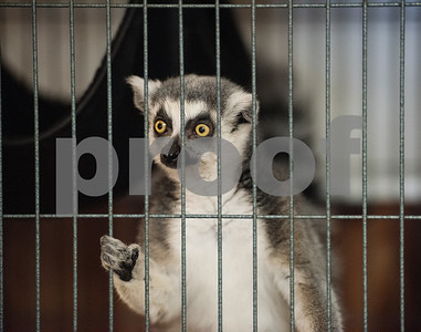 A lemur named Leonard is off exhibit at Tiger Creek Animal Sanctuary in Tyler.   (Sarah A. Miller/Tyler Morning Telegraph)