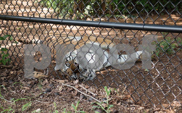 A tiger named Padma is pictured on Wednesday July 11, 2018 at Tiger Creek Animal Sanctuary in Tyler.   (Sarah A. Miller/Tyler Morning Telegraph)