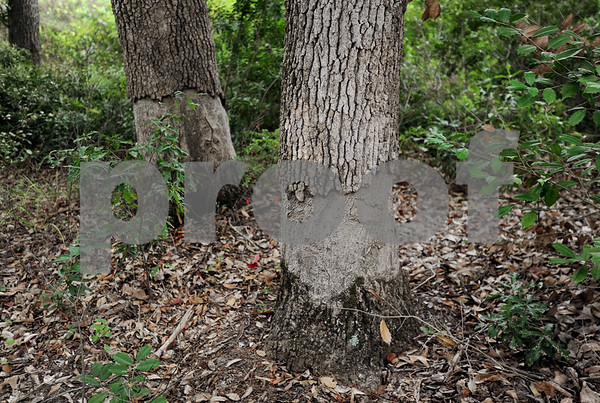 copyright 2012 Sarah A. Miller/Tyler Morning Telegraph  Beavers have damaged trees on private property in south Tyler.
