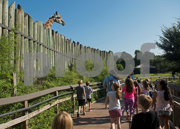 Children enrolled in the zoo's summer camp walk past a giraffe at the Caldwell Zoo on Friday Aug. 3, 2018.  (Sarah A. Miller/Tyler Morning Telegraph)