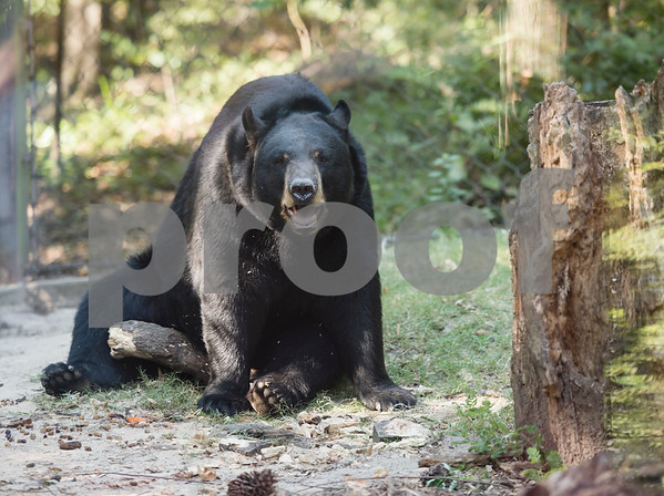 An American black bear named Tyler is pictured at the Caldwell Zoo on Friday Aug. 3, 2018.  (Sarah A. Miller/Tyler Morning Telegraph)