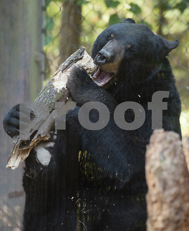 An American black bear named Tyler picks up a pice of wood at the Caldwell Zoo on Friday Aug. 3, 2018.  (Sarah A. Miller/Tyler Morning Telegraph)