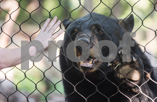Caldwell Zoo zoo keeper Amanda Massau shows how an American black bear named Tyler is trained to open his mouth, a movement which is helpful for dental or medical work on the animals. Children learned about the bears during a summer camp at zoo on Friday Aug. 3, 2018.  (Sarah A. Miller/Tyler Morning Telegraph)