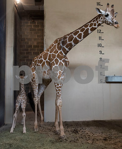 Cricket the giraffe and her baby Lulu are housed inside at the Caldwell Zoo on Wednesday Aug. 8, 2018. Lulu was born on July 28.  (Sarah A. Miller/Tyler Morning Telegraph)