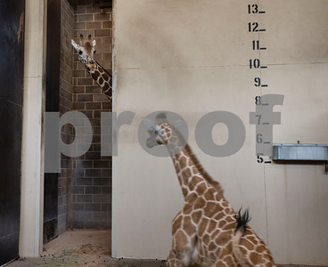 Cricket the giraffe tends to her baby Lulu at the Caldwell Zoo on Wednesday Aug. 8, 2018. Lulu was born on July 28.  (Sarah A. Miller/Tyler Morning Telegraph)