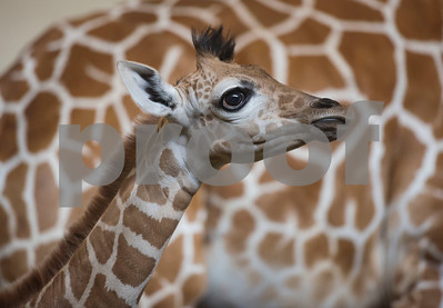 A baby giraffe named Lulu is housed at an inside enclosure with her mother Cricket at the Caldwell Zoo on Wednesday Aug. 8, 2018. Lulu was born on July 28.  (Sarah A. Miller/Tyler Morning Telegraph)