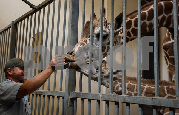Caldwell Zoo curator of mammals Scotty Stainback feeds treats to Cricket the giraffe and her baby Lulu at the Caldwell Zoo on Wednesday Aug. 8, 2018. Lulu was born on July 28.  (Sarah A. Miller/Tyler Morning Telegraph)