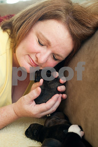 photo by Sarah A. Miller/Tyler Morning Telegraph  Francie Hodges of Tyler holds a Boston terrier puppy Friday July 12 at her home. Hodges is providing shelter for a Boston terrier named Mary and her litter of puppies.