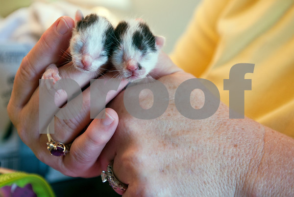 photo by Sarah A. Miller/Tyler Morning Telegraph  Francie Hodges of Tyler holds two of several three-day-old kittens she is raising in her home Friday July 12, 2013. The kittens were found in a garden birthed by a feral cat.