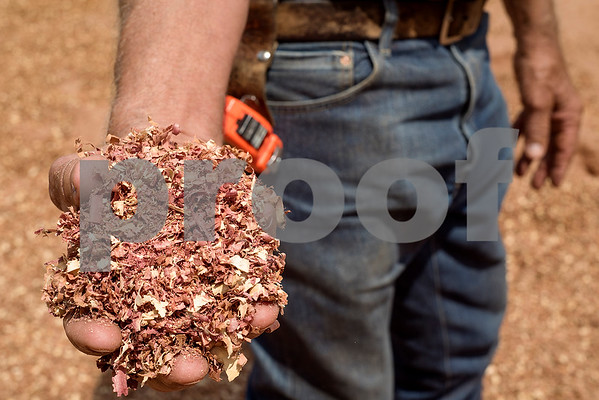 Lacy Wilcox holds a handful of sawdust at Wilcox Timber & Lumber in Rusk, Texas, on Tuesday, Sept. 12, 2017. Wilcox Timber & Lumber is a family-owned specialty sawmill offering quality woods like cedar, mesquite and cypress. They began their logging operation in 1980 and sawmill operation in 1997. (Chelsea Purgahn/Tyler Morning Telegraph)