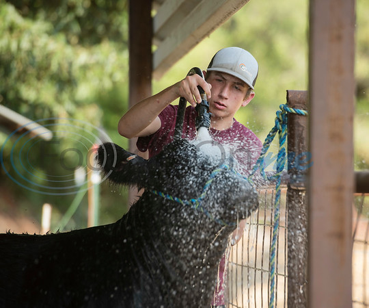 Arp High School junior Colton Smith, 16, washes his Angus heifer at his home in Arp on Wednesday Sept. 5, 2018. Smith and his sister senior Reagan Smith, 17, are entering their animal projects in the upcoming East Texas State Fair.  (Sarah A. Miller/Tyler Morning Telegraph)