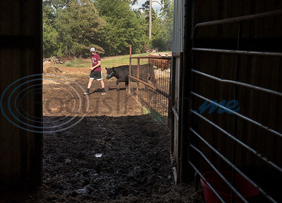 Arp High School junior Colton Smith, 16, gets Angus heifer from the field to give her its daily bath at his home in Arp on Wednesday Sept. 5, 2018. Smith and his sister senior Reagan Smith, 17, are entering their animal projects in the upcoming East Texas State Fair.  (Sarah A. Miller/Tyler Morning Telegraph)