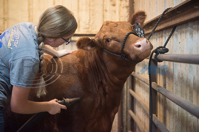 Arp High School senior Reagan Smith, 17, dries one of her Red Angus heifers at her home in Arp on Wednesday Sept. 5, 2018. Smith and her brother junior Colton Smith, 16, are entering their animal projects in the upcoming East Texas State Fair.  (Sarah A. Miller/Tyler Morning Telegraph)