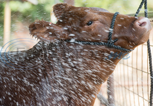 Arp High School senior Reagan Smith, 17, washes one of her Red Angus heifers at her home in Arp on Wednesday Sept. 5, 2018. Smith and her brother junior Colton Smith, 16, are entering their animal projects in the upcoming East Texas State Fair.  (Sarah A. Miller/Tyler Morning Telegraph)