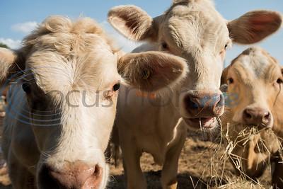cows  (Sarah A. Miller/Tyler Morning Telegraph)