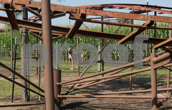 Farm dog Rudy is seen between a roller coaster and cron maze at Yesterland Farm in Canton Sept. 14, 2017. The farm is hosting their Grand Re-Opening weekend Sept. 23 and 24. Attractions include rides, a petting zoo, apple cannons, a corn maze, and swamp zombie paintball.  (Sarah A. Miller/Tyler Morning Telegraph)