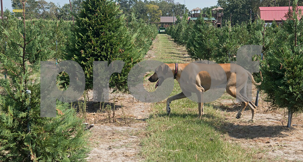 Farm dog Rudy walks through the Christmas tree area at Yesterland Farm in Canton Sept. 14, 2017. The farm is hosting their Grand Re-Opening weekend Sept. 23 and 24. Attractions include rides, a petting zoo, apple cannons, a corn maze, a car that shoots candy into the air and lots of food options.  (Sarah A. Miller/Tyler Morning Telegraph)