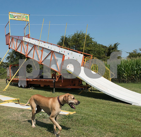 Farm dog Rudy walks past a large slide being set up next to the corn maze at Yesterland Farm in Canton Thursday Sept. 14, 2017. Yesterland Farm was hit by a tornado this past April. The family entertainment center has spent the summer repairing and re-arranging the facility.   (Sarah A. Miller/Tyler Morning Telegraph)