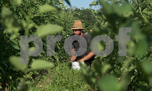 Justin Bullock of Red Moon Farm in Van harvests sungold cherry tomatoes June 21, 2017. Red Moon Farm is an organic farm and CSA (community-supported agriculture). In the CSA system customers become members who buy a share of the harvest from the farm and the farm commits to growing the produce for each member.   (Sarah A. Miller/Tyler Morning Telegraph)