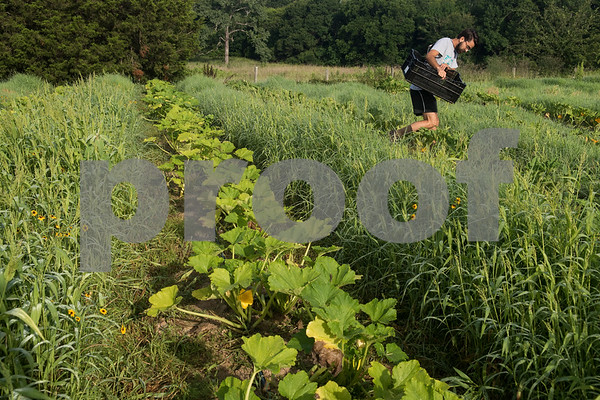 Christopher Umierski helps harvest vegetables at Red Moon Farm in Van June 21, 2017. Red Moon Farm is an organic farm and CSA (community-supported agriculture). In the CSA system customers become members who buy a share of the harvest from the farm and the farm commits to growing the produce for each member.   (Sarah A. Miller/Tyler Morning Telegraph)