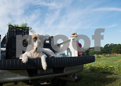 Olga watches the harvest at Red Moon Farm in Van June 21, 2017. Red Moon Farm is an organic farm and CSA (community-supported agriculture). In the CSA system customers become members who buy a share of the harvest from the farm and the farm commits to growing the produce for each member.   (Sarah A. Miller/Tyler Morning Telegraph)