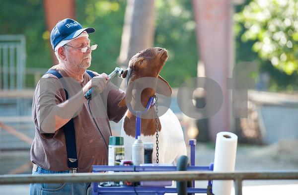Goats Prep for Livestock Show