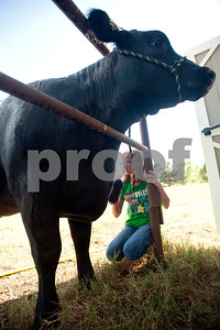 Kissam Elementary School student Reese Pinkerton, 8, washes her heifer Emma at her barn in Chapel Hill Wednesday Sept. 16, 2015. Reese Pinkerton and her sister Kara Pinkerton, 13, are preparing their animals to be shown at the Junior Livestock show at the East Texas State Fair, which starts Sept. 25 in Tyler.   (Sarah A. Miller/Tyler Morning Telegraph)