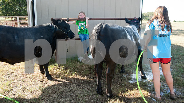 Reese Pinkerton, 8, and her sister Kara Pinkerton, 13, wash their heifers at their barn in Chapel Hill Wednesday Sept. 16, 2015. The Pinkertons are preparing their animals to be shown at the Junior Livestock show at the East Texas State Fair, which starts Sept. 25 in Tyler.   (Sarah A. Miller/Tyler Morning Telegraph)