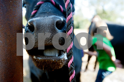 A heifer named Betsy chews her cud while Kissam Elementary School student Reese Pinkerton, 8, washes her at her barn in Chapel Hill Wednesday Sept. 16, 2015. Reese Pinkerton and her sister Kara Pinkerton, 13, are preparing their animals to be shown at the Junior Livestock show at the East Texas State Fair, which starts Sept. 25 in Tyler.   (Sarah A. Miller/Tyler Morning Telegraph)