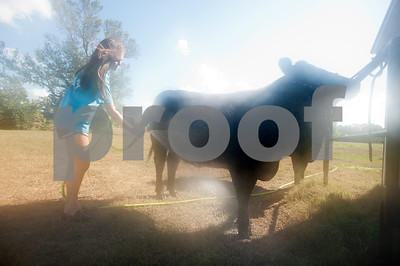 Chapel Hill Middle School student Kara Pinkerton, 13, washes her heifer at her barn in Chapel Hill Wednesday Sept. 16, 2015. Kara Pinkerton and her sister Reese Pinkerton, 8, are preparing their animals to be shown at the Junior Livestock show at the East Texas State Fair, which starts Sept. 25 in Tyler.   (Sarah A. Miller/Tyler Morning Telegraph)