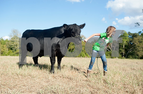 Kissam Elementary School student Reese Pinkerton, 8, leads a heifer to her barn in Chapel Hill Wednesday Sept. 16, 2015. Reese Pinkerton and her sister Kara Pinkerton, 13, are preparing their animals to be shown at the Junior Livestock show at the East Texas State Fair, which starts Sept. 25 in Tyler.   (Sarah A. Miller/Tyler Morning Telegraph)