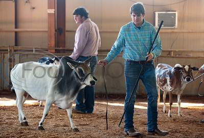 Nathan Rogers of Terrell shows his cow in the Miniature Zebu Show at the East Texas State Fair in Tyler on Wednesday Sept. 25, 2019. He took first place.  (Sarah A. Miller/Tyler Morning Telegraph)