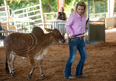 Skyler Phillips of Ennis shows her cow in the Miniature Zebu Show at the East Texas State Fair in Tyler on Wednesday Sept. 25, 2019. She took second place.  (Sarah A. Miller/Tyler Morning Telegraph)