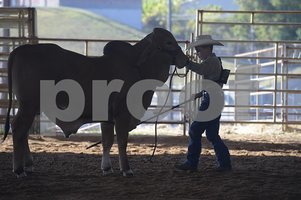 East Texas State Fair-Brahman Show