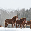 KRISTOPHER RADDER - BRATTLEBORO REFORMER<br /> A group of horses at Adams Family Farm on Wednesday, March 15, 2017.