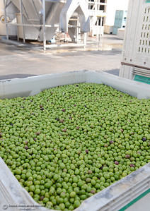 From the trees to the can, every aspect of olive processing and packaging takes place during a tour of the Bell-Carter Olive Company in Corning, Calif. Friday, Oct. 11, 2013. (Bill Husa/Staff Photo)