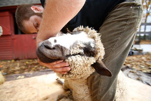 Brattle Farm Sheep Shearing-102514