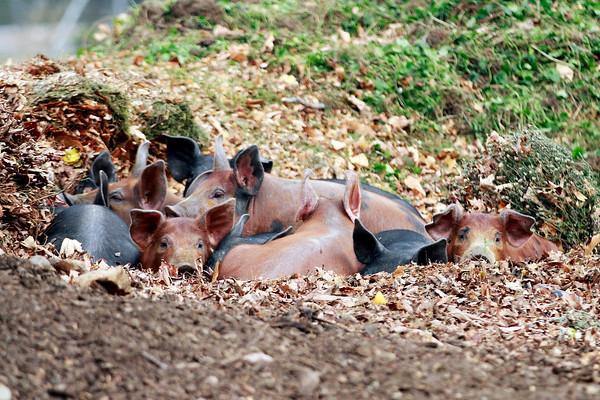 North Plain Farm Pigs-102613