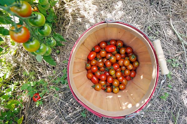 Picking Tomatoes-081215