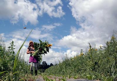 Sunflowers at Taft Farms 082814