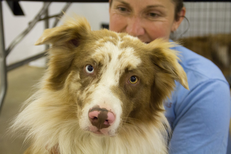 ALEC SMITH / GAZETTE During Saturday's Pet-Tacular adoption event at the Medina County Fairgrounds' Community Center, Maria Duthie of Medina took her Australian shepherd named Spin to the dog pet spa area for massages.