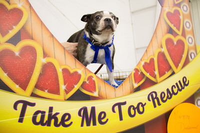 ALEC SMITH / GAZETTE Troy, an 8-year-old Boston Terrier, from the Take Me Too Dog Rescue organization, was not interested in traveling on steps during Saturday's Pet-Tacular adoption event held at the Medina Fairgrounds' Community Center.