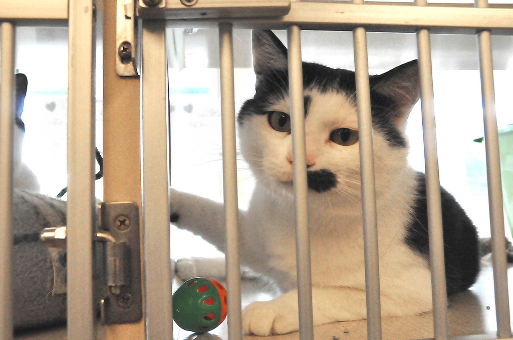 . One of the cats awaiting adoption at the Berkshire Humane Society shelter in Pittsfield on Thurdsay, Aug. 22, 2013. (STAFFORD)