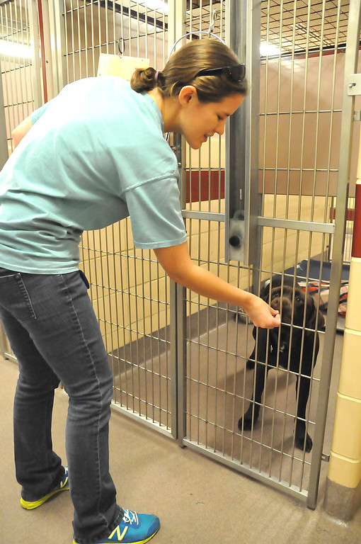 . A member of the Humane Society shelter staff gives a treat to one of the dogs awaiting adoption at the Berkshire Humane Society shelter in Pittsfield on Thurdsay, Aug. 22, 2013. (STAFFORD)
