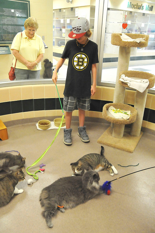 . Matthew Widdison, 12, of Pittsfield plays with some of the cats awaiting adoption at the Berkshire Humane Society shelter in Pittsfield on Thurdsay, Aug. 22, 2013. (STAFFORD)